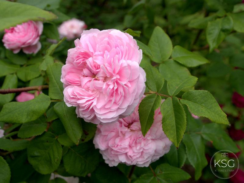 I (never) promised you a rose garden – K´s VienNature Culturegram
